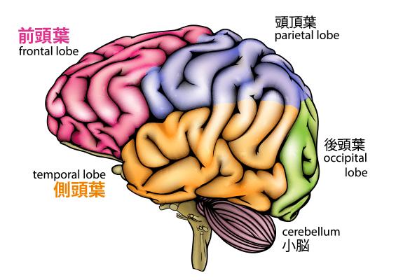 brain-anatomy1