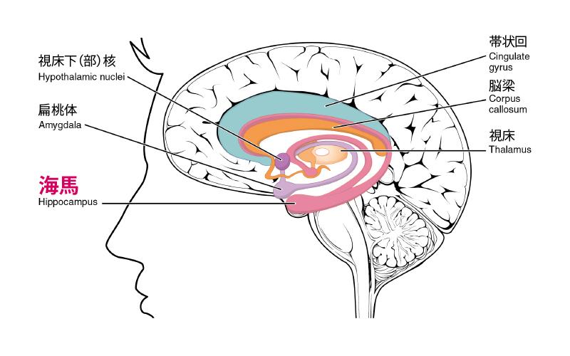 brain-anatomy2