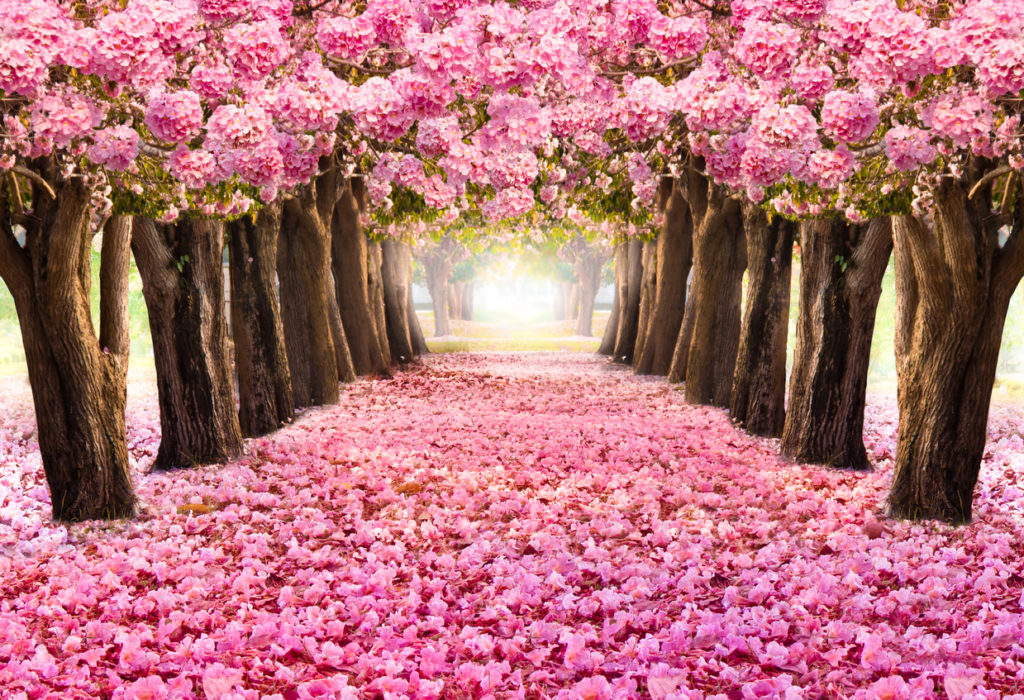 The romantic tunnel of pink flower trees.Blossom blooming in Spring - Summer season.