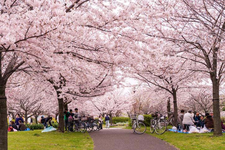 Family having a picnic under sakura tree in Tokyo, Japan.