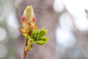 Blossoming chestnut tree bud - spring