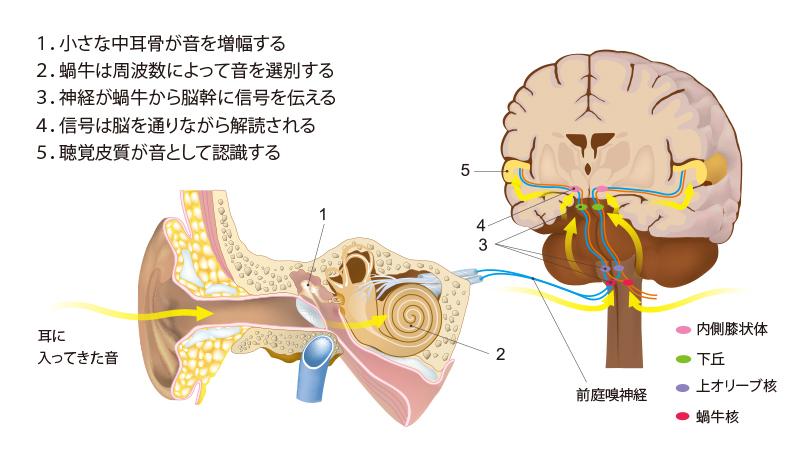 auditory-pathways