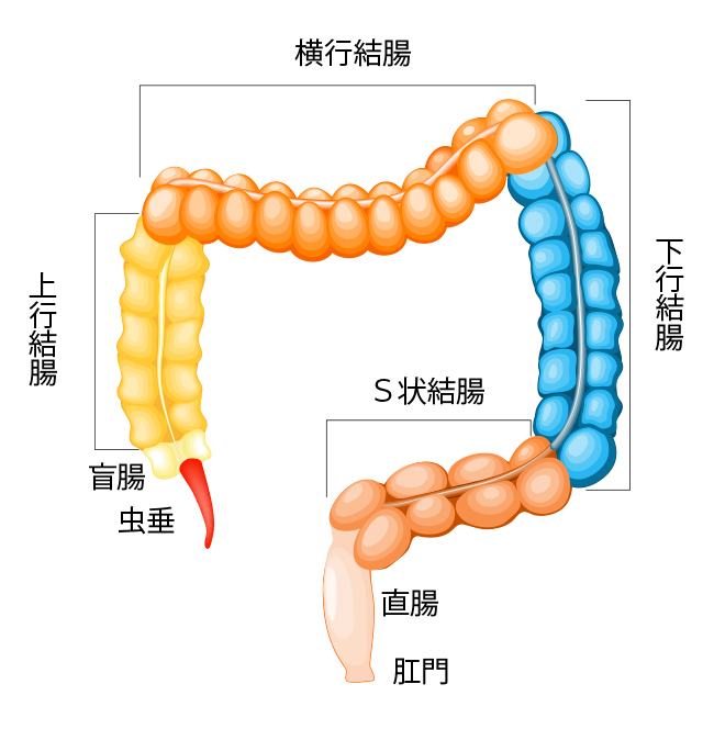 anatomy-colon