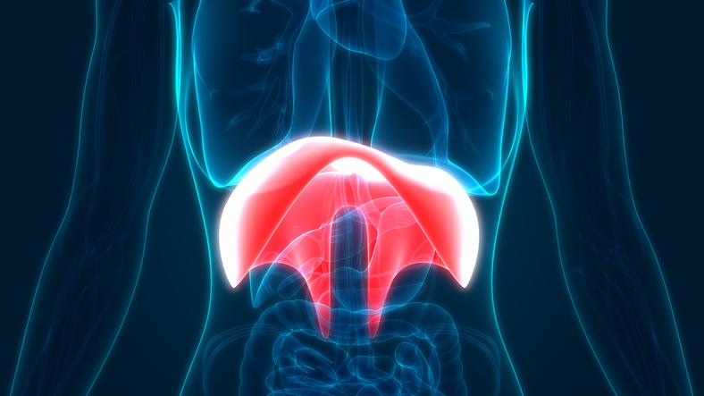 Human Body Organs Diaphragm Anatomy