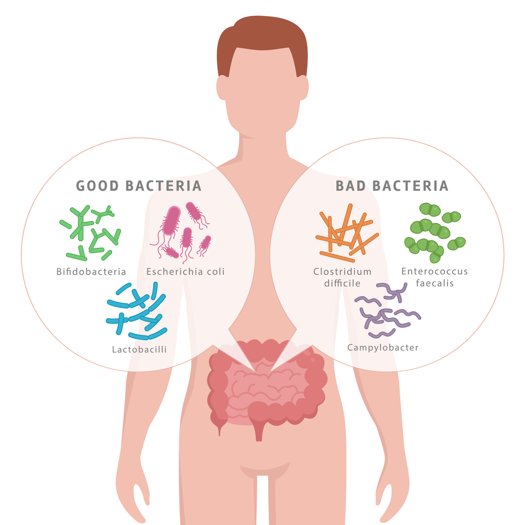 Good Bacteria and Bad Bacteria in human intestines. Bifidobacteria, Lactobacilli, Escherichia coli, Campylobacter, Enterococcus faecalis, Clostridium difficile with human silhouette isolated on white.