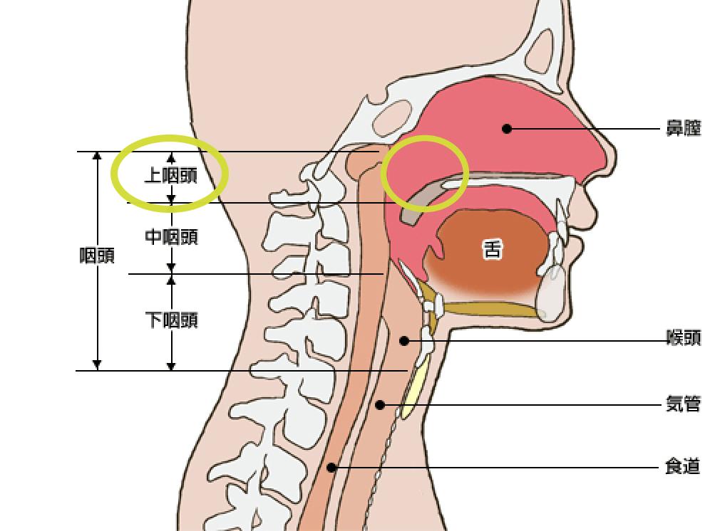 上咽頭の位置