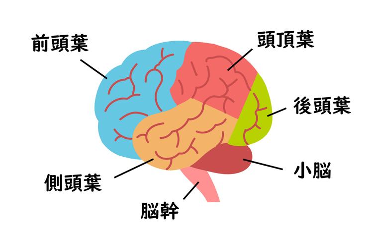 Medical illustration of cross section of brain